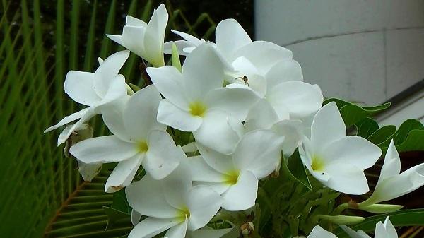 jasmim, plantas ornamentais