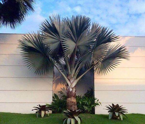Palmeira Azul no Jardim