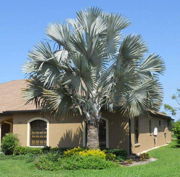 Palmeira Azul para casa de sítio