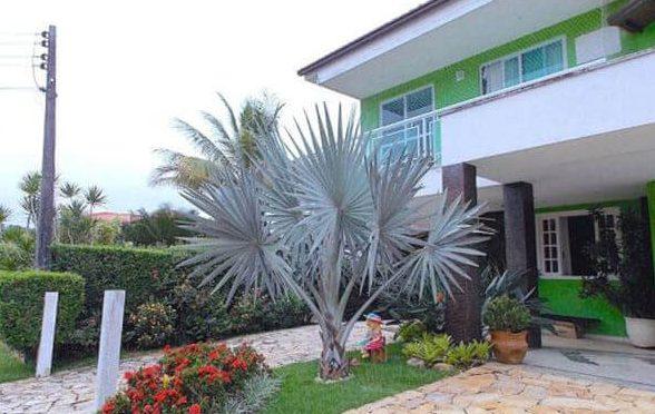 Palmeira Azul para decoração de jardim