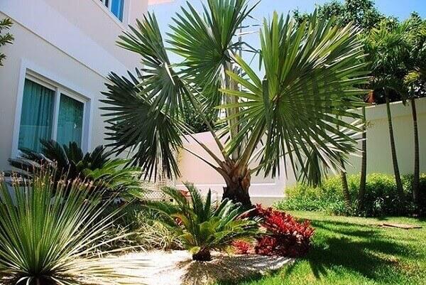 Palmeira azul bismarck