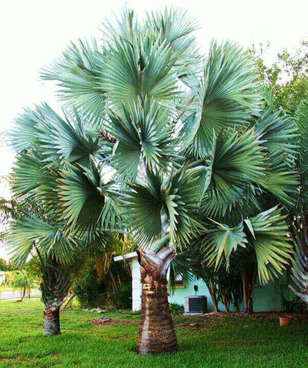 Palmeira azul com único tronco