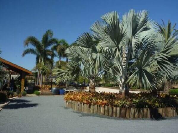 Palmeira azul com pequenos troncos de madeira