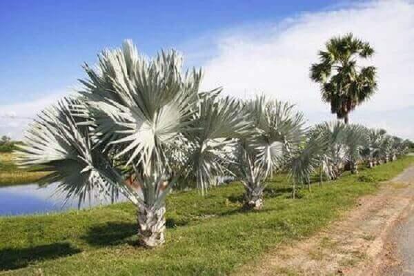 Palmeira azul diversas