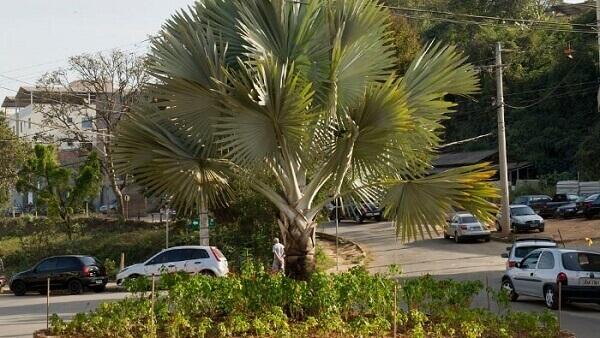 Palmeira azul em área externa