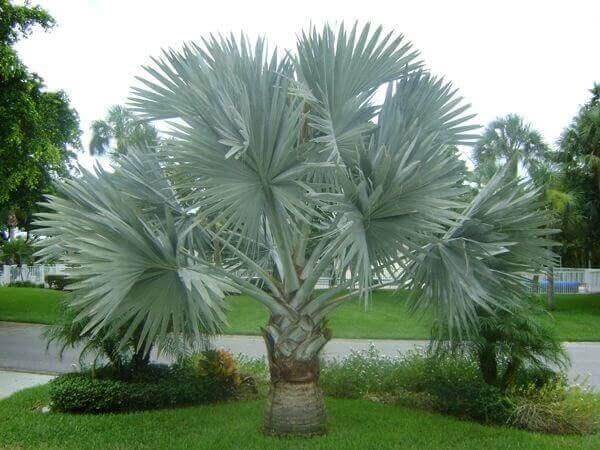 Palmeira azul em áreas abertas