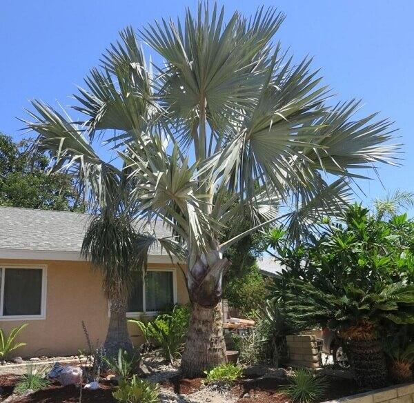 Palmeira azul em quintal de residencia