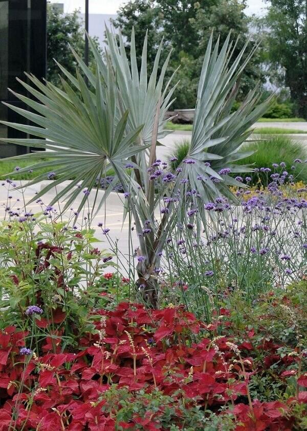 Palmeira azul espécies de plantas