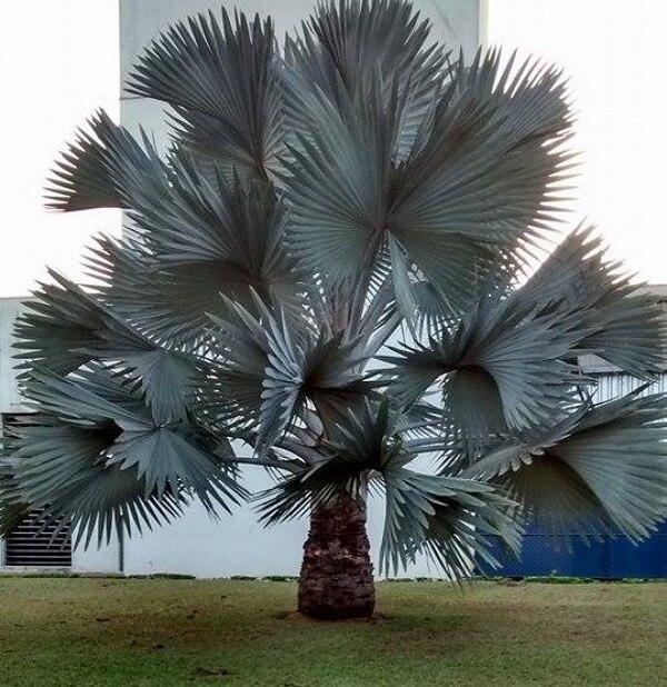 Palmeira azul grande