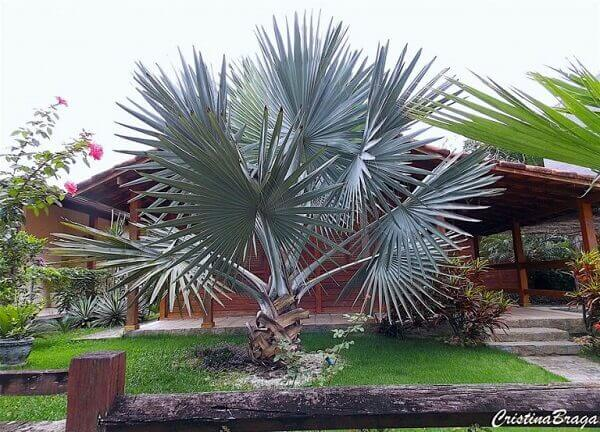Palmeira azul na frente de casa