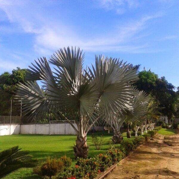 Palmeira azul para decoração de jardim grande