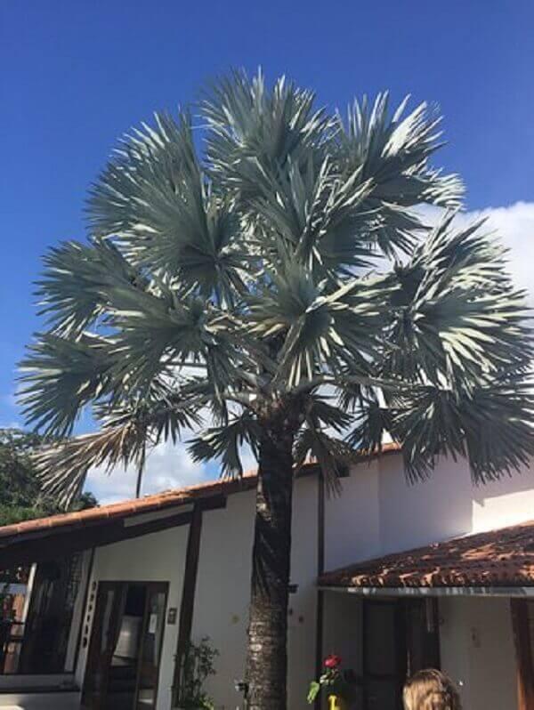 Palmeira azul para decorar fachada