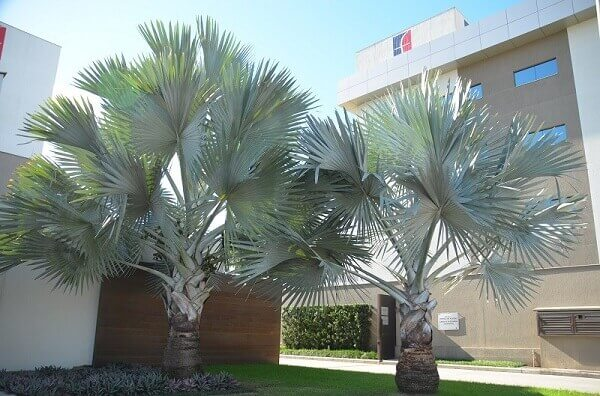 Palmeira azul para estabelecimentos corporativos