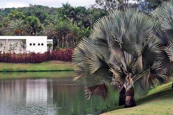 Palmeira azul para sítios