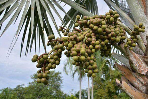 Palmeira azul várias sementes