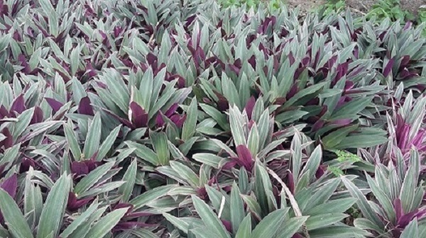 plantas ornamentais como o abacaxi roxo