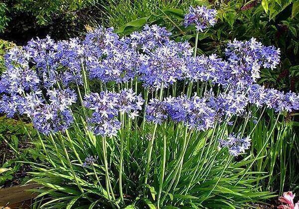 Plantas ornamentais de sol agapanthus