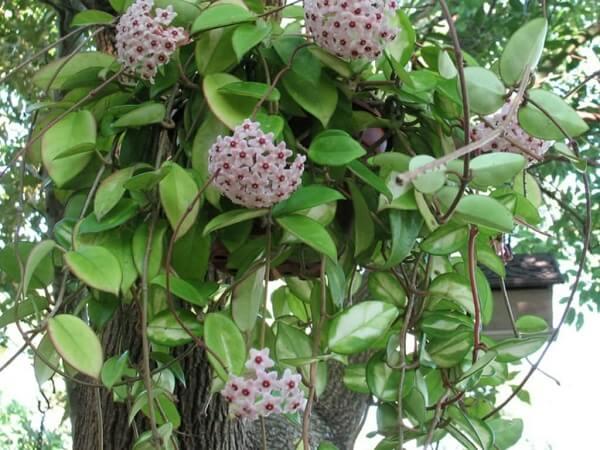 Plantas ornamentais flor de cera