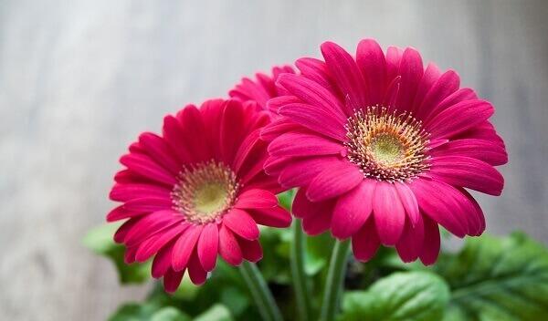 Plantas ornamentais gérbera rosa
