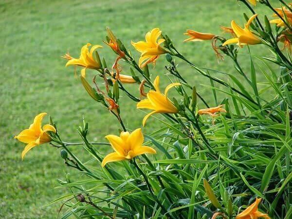 Plantas ornamentais lírio amarelo