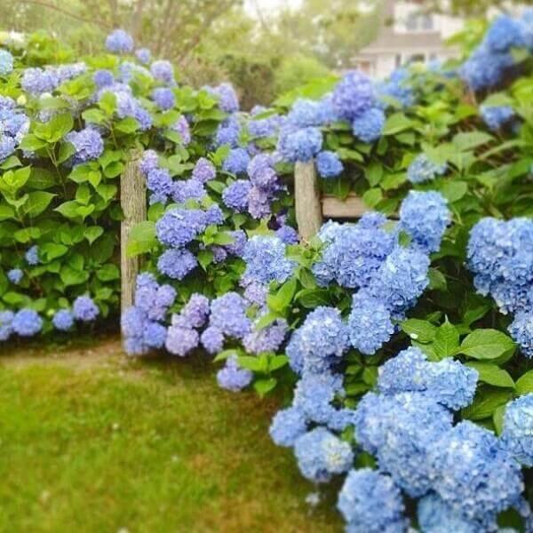 Plantas ornamentais para jardim externo Hortencias