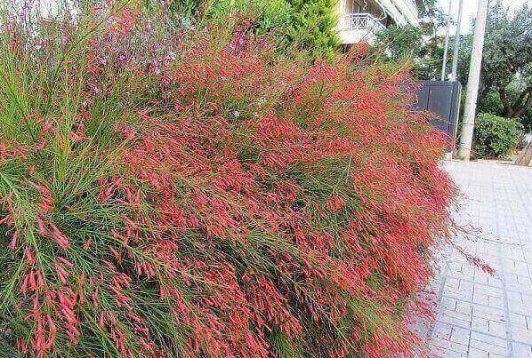 Plantas ornamentais para jardim russelia