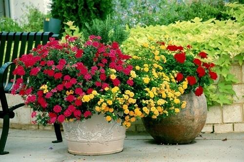 Plantas ornamentais para vaso gerânios