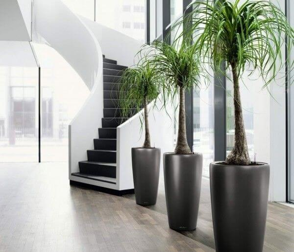 Plantas ornamentais para vasos com Pata de elefante