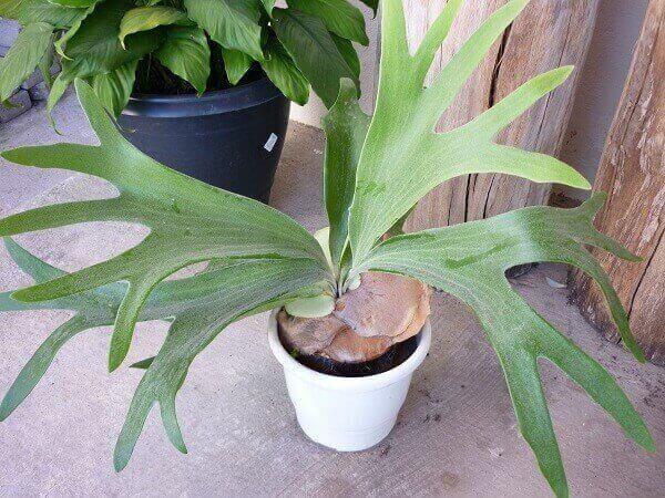 Plantas ornamentais para vasos como a Chifre de Veado