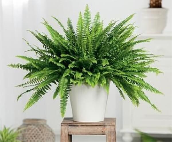 Plantas ornamentais samambaias
