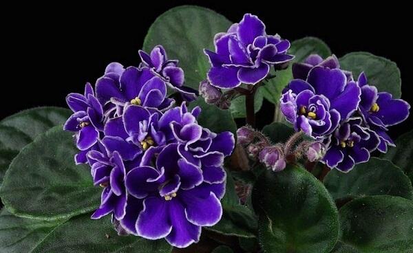 violeta africana, plantas ornamentais que podem ser cultivadas dentro de casa
