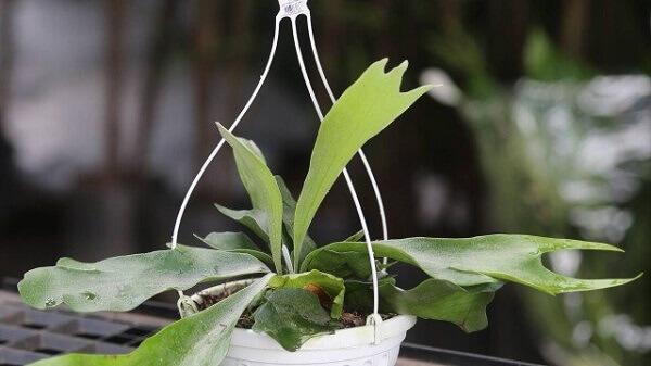 vaso com planta ornamental chifre-de-veado