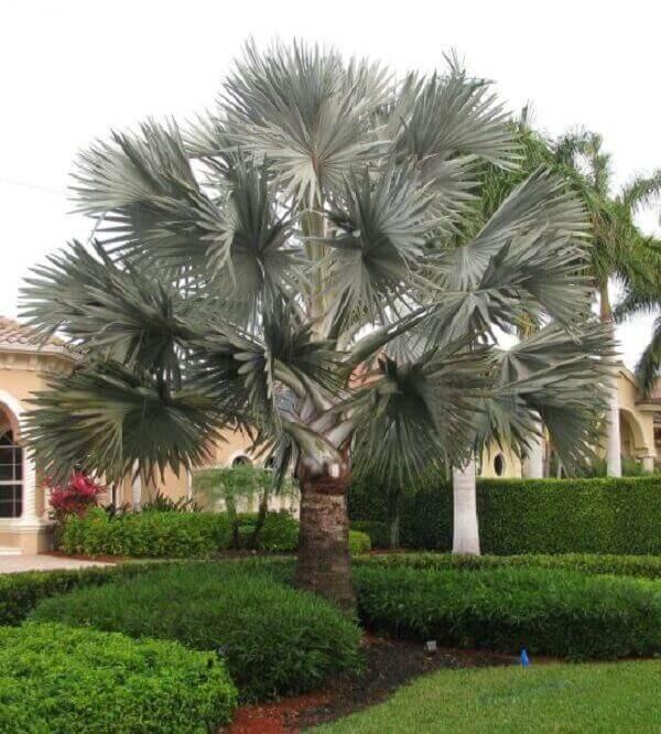palmeira azul compõe os projetos de jardinagem
