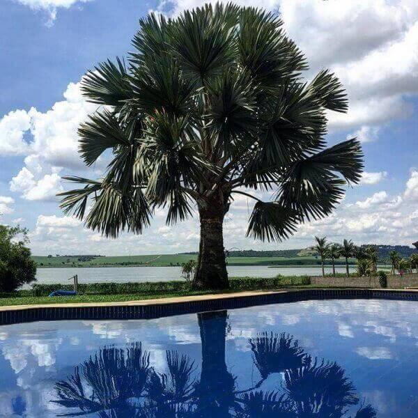 palmeira azul de porte grande