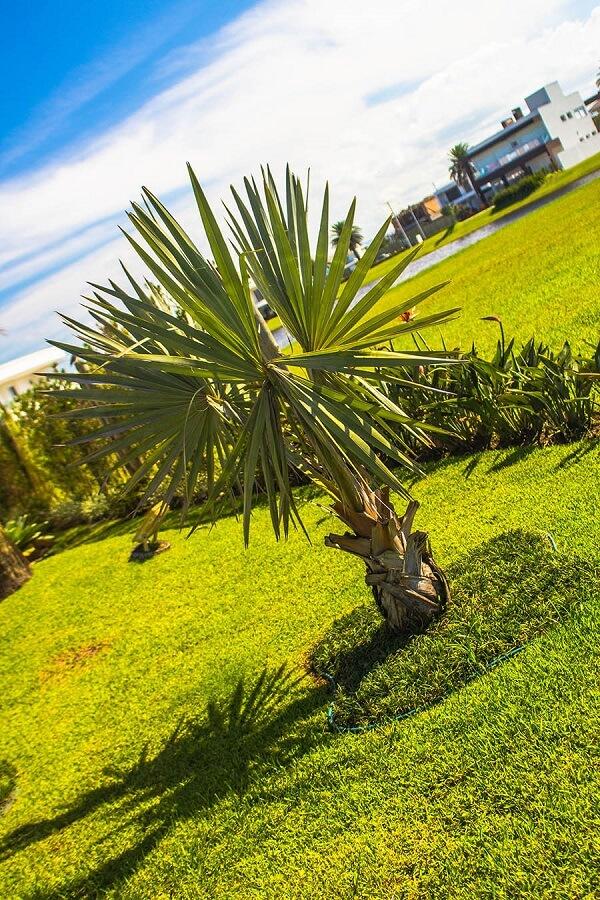 palmeira azul muda