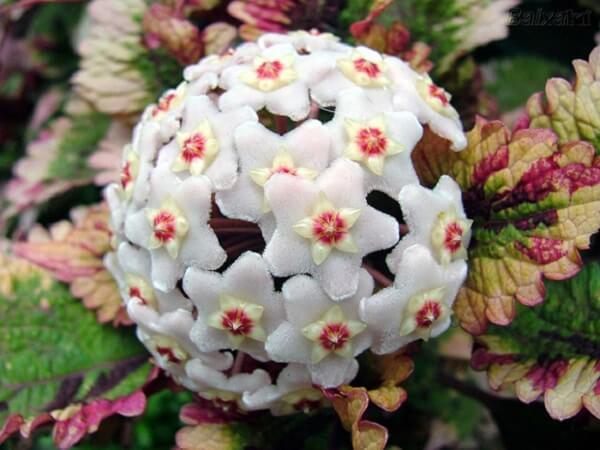 Trepadeira Flor de cera