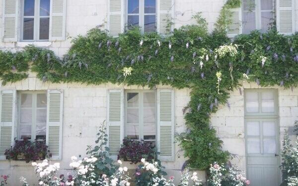 Trepadeira Florida nas fachadas Thunbergia Grandiflora