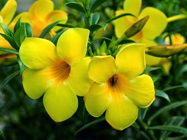 Trepadeira allamanda amarela
