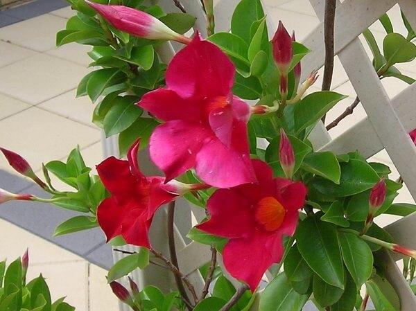 Trepadeira com flor