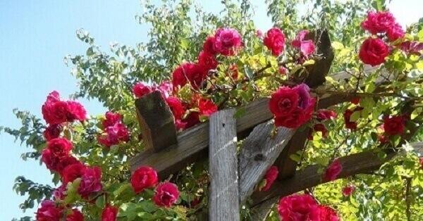 Trepadeira rosa em pergola