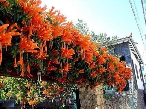 Trepaderia flor de são joão