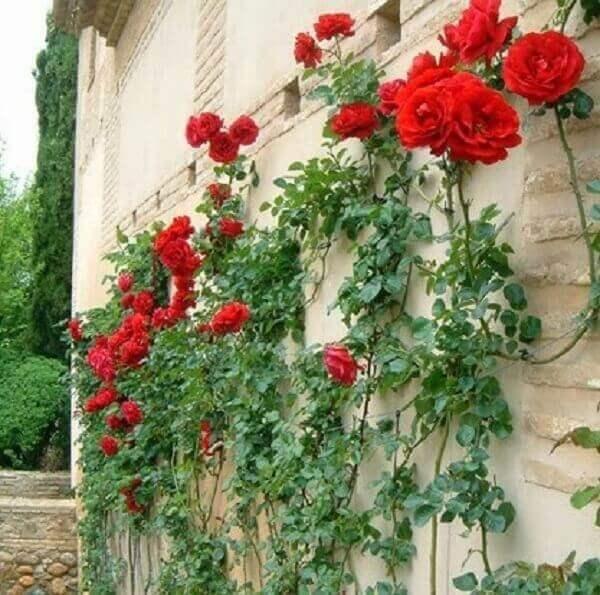 Trepadeira rosa em parede de casa