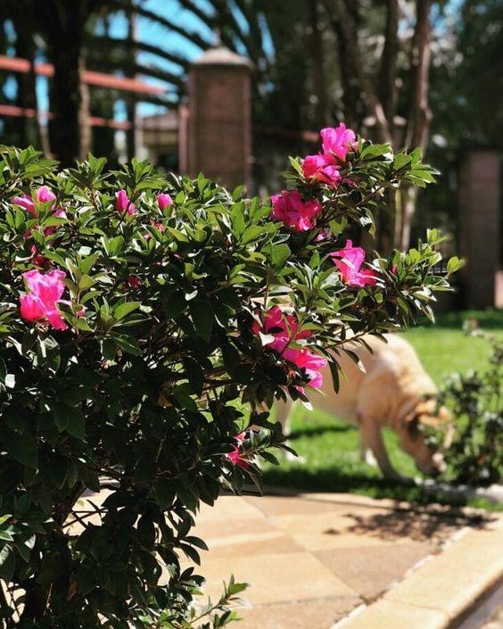 A azaleia é uma flor encantadora. Fonte: Jardim do Edinho