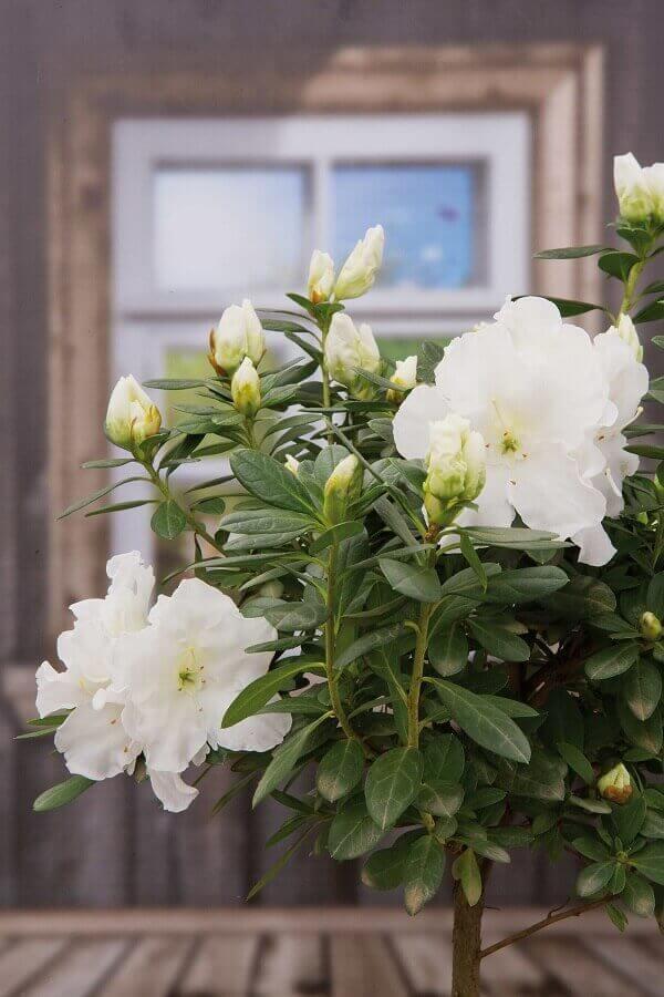 Azaléia Rhododendron 'Iris'