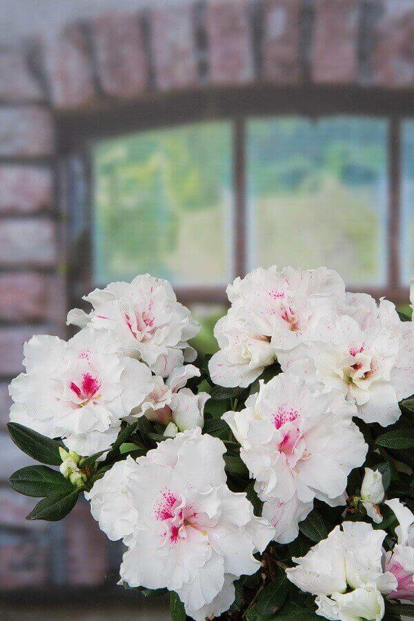 Azaléia Rhododendron 'Madame Croock'