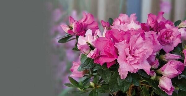 Azaléia Rhododendron 'Poseidon'