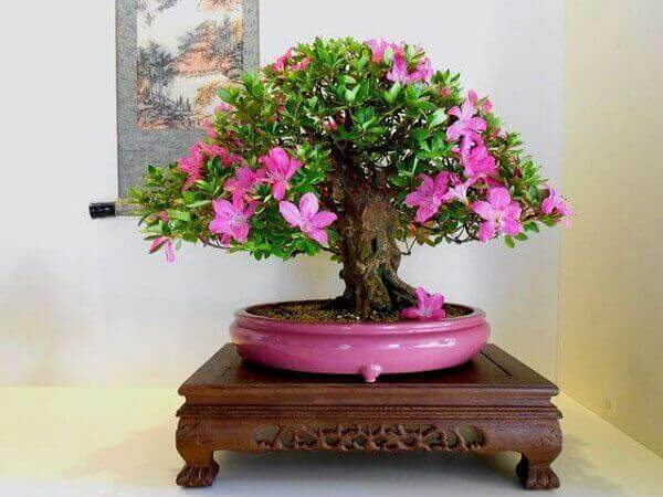 Azaléia bonsai em sala