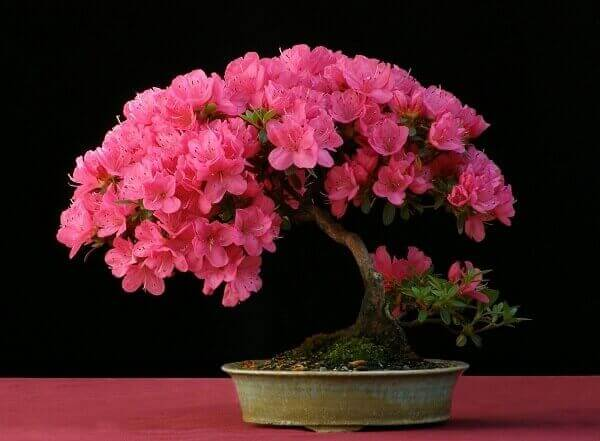 Azaléia bonsai rosa verde