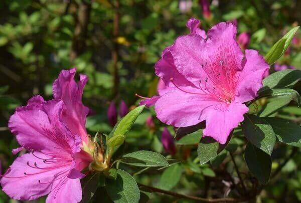 25954342 Azaleia: +51 Flores Coloridas e Saiba Como Cuidar
