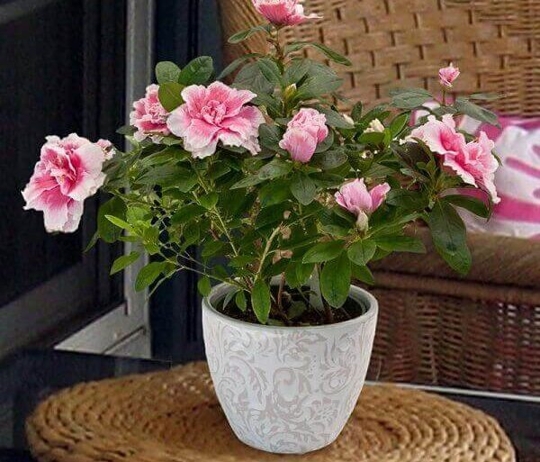 Azaléia em vaso branco